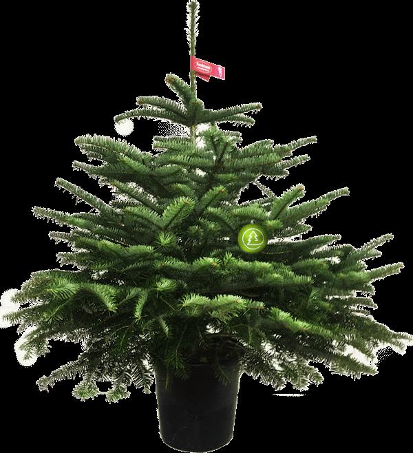 Датская елка в горшке(150-175 см)