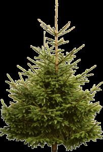 Норвежская елка купить в Москве и МО