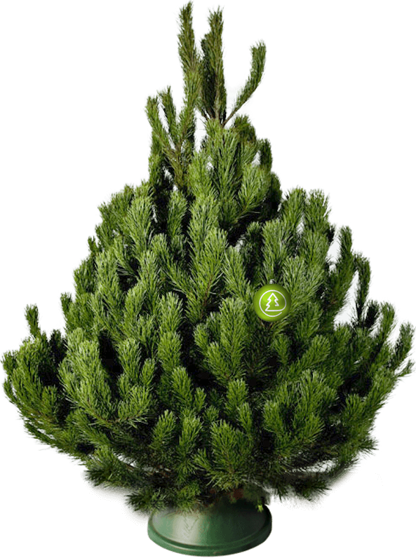 Новогодняя сосна(200-225 см)