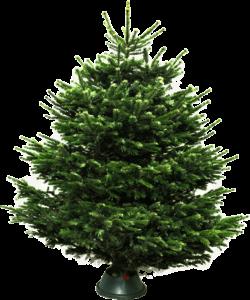 Датская елка (пихта нордмана) купить в Москве