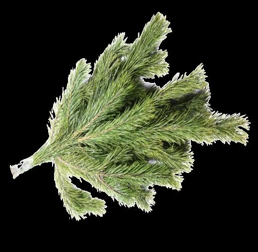 Лапник сосновый